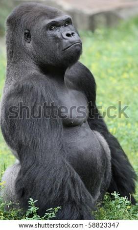 Grumpy looking Gorilla sitting in grass