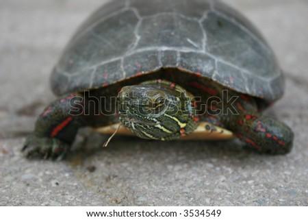 Grumpy looking turtle