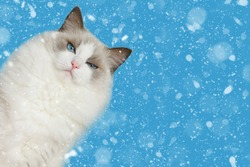 Grumpy ragdoll cat with blue background with snow. Space for your text.