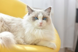 Grumpy, sleepy white cat with blue eyes and angry expression lying on yellow chair and watching. (Blue bicolour purebred ragdoll, female, 3 years old).