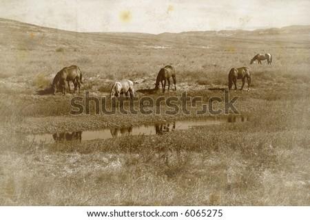 Grunge Antique Photo Effect of Range Horses Feeding