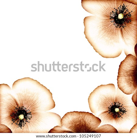 Grunge poppy, floral natural brown border, dry wildflower card, abstract background, decorative bloom design, vintage old style picture, big beautiful flower head isolated on white, macro on petals