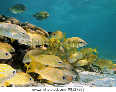 Grunt fish shoal with surgeonfish underwater sea on a shallow seabed, Caribbean sea