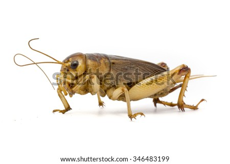 Gryllidae isolated on a white background