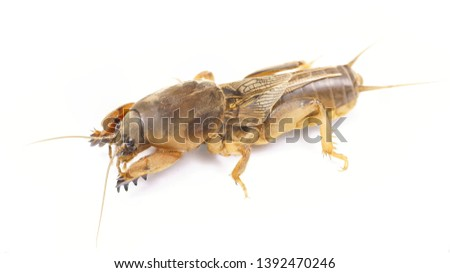 Gryllotalpidae is a pest for root plants. Fishing bait. Bait for carp and catfish #1392470246