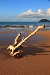 Guadeloupe sandy beach. Caribbean vacation landscape. Perle Beach driftwood (Plage de la Perle).