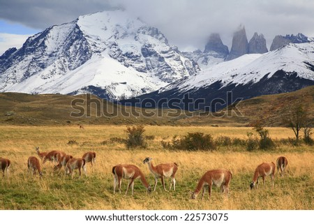 "Guanaco herd (Lama guanicoe) in Torres del Paine National Park, Chile. Guanacos are some of the most unique and most seen large mammals in Patagonia. Scientific name: ""lama guanicoe"""