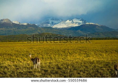Shutterstock Guanaco in the Patagonian countryside