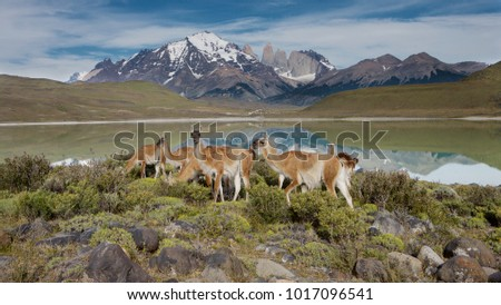 Guanaco (Lama guanicoe) herd with the Torres in the background, Torres del Paine NP, Chile.