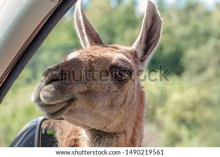 Guanaco, Lama guanicoe peers into a car and asks for food. Adventure weekend in safari. Communication with wild animals. Portrait #1490219561