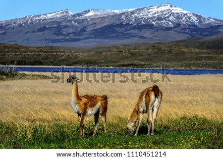 Guanaco's in Patagonia