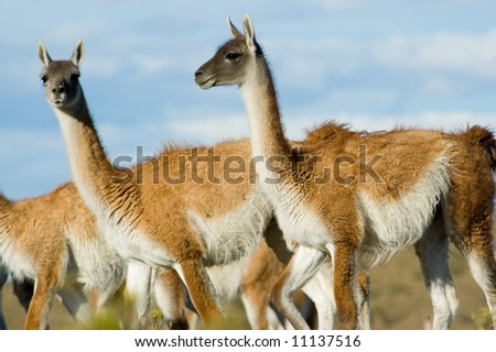 Guanacoes (Lama guanicoe) in Patagonia, southern Argentina. #11137516