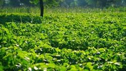 Guar or cluster bean field. Strong sunlight falls on guar or cluster bean plants.