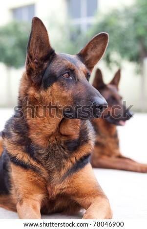 Guard dog close up shoot