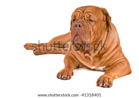 Guard Dog of Dogue De Bordeaux Breed on Duty, isolated on White