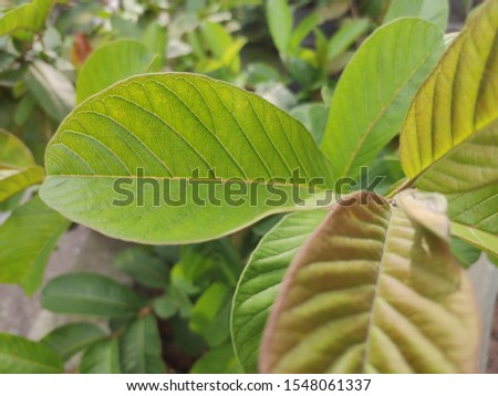 Guava foliage. Foliage and flowers. #1548061337