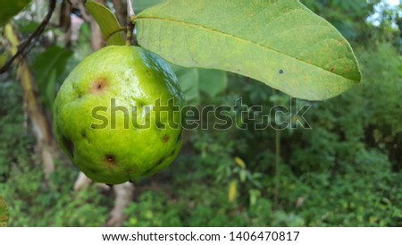 Guava fruit failed to harvest because it was attacked by caterpillar pests. In the process before harvest, spraying pesticides is needed so that fruit flies do not attack