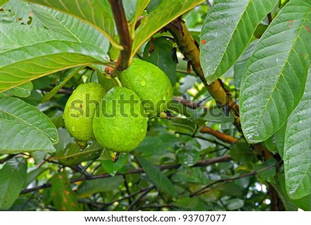 Guava/Psidium guajava, fruits found mainly in tropical and subtropical countries like india. Its scientific name is 'Psidium guajava'