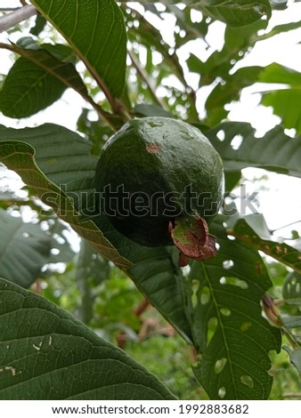guava that is still fresh and still in the tree, this guava comes from Indonesia.