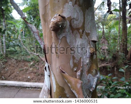 guava tree trunks, brown, medium sized trees, photos taken in the afternoon #1436000531