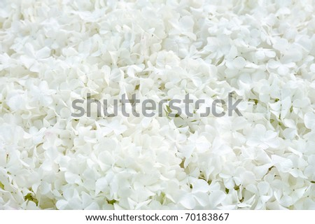Guelder rose blossoms - background - stock photo