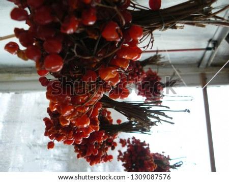 Guelder Rose is tree,deciduous plant of Viburnum family. The fruits are edible. The fruits and the bark are using in modern and folk medicine. Has been developed the new kind of flowering kalina. #1309087576