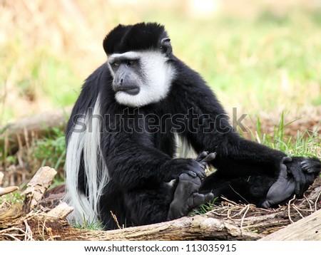 Guereza Monkey enjoying the sunshine