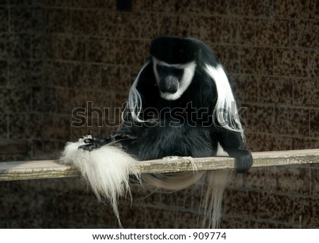 Guereza or an Abyssinian black-and-white colobus monkey (Colobus guereza)