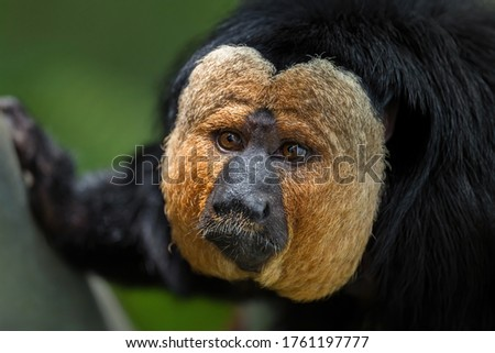Guianan Saki - Pithecia pithecia, beautiful rare shy primate from South American tropical forests, Brazil. Photo stock ©