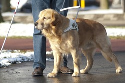 Guide dog is helping a blind man.