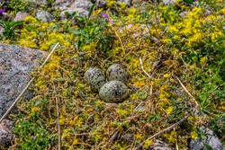 Guide of bird nest. Arctic tern (Sterna paradisaea) nest is made of bright golden flowers because this bird is very aggressive. Surrounding plant is Golden moss. Islands in Eastern part of Baltic sea