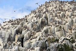 guillemot seabird colony nesting inner make Scottish islands predator fish