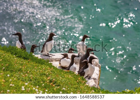 Guillemot seabirds, Uria aalge, on cliff edge at Saltee Islands, Wexford, Ireland, Europe. Atlantic ocean sparkling beyond and green grass. Colony of black and white seabirds in bird sanctuary