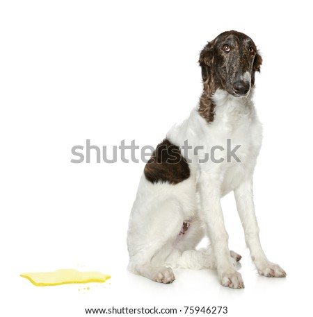 Guilty dog. Russian Borzoi puppy (5 months) on a white background
