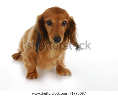 guilty looking dog - long haired miniature dachshund on white background