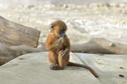Guinea baboon, monkey