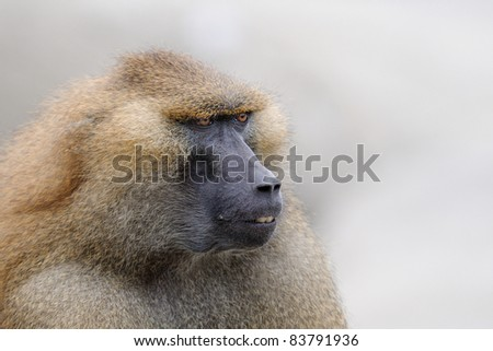 Guinea baboon ( Papio papio) portrait