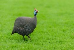 Guinea Fowl running on green grass