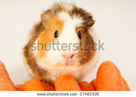 Guinea pig and carrots on a grey background