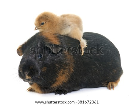 guinea pig and chick in front...