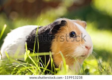 Guinea pig (Cavia porcellus) is a popular household pet. #119913238