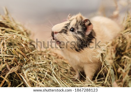 Guinea pig Cavia porcellus is a popular pet. The rodent sits among the hay and eats grass. Guinea pig studio portrait, animal care concept. Сток-фото ©