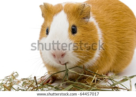 guinea pig eating hay on the white background