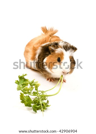 Guinea pig eating on white background