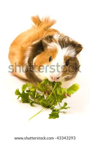 Guinea pig eating on white background
