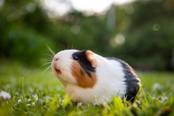 Guinea pig in a meadow