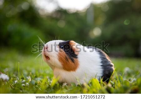 Guinea pig in a meadow Сток-фото ©