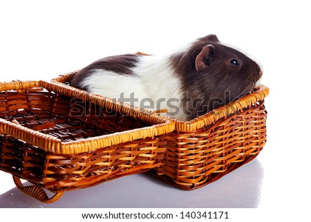 Guinea pig in a wattled basket. House rodent. Small pet.