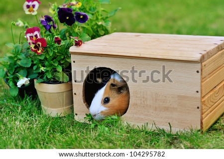 Guinea pig in a wooden house in the garden