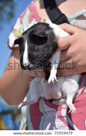 guinea pig in hand